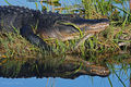 American Alligator, Everglades National Park, Florida, mississippiensis