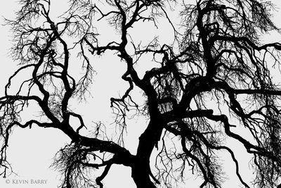 Oak at dawn, Ramona Grasslands Preserve, California