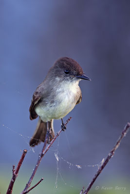 Eastern Phoebe, Everglades National Park, Florida, Sayornis phoebe