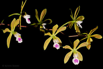 Butterfly Orchid, Everglades National Park, Florida