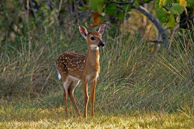 Key Deer fawn, National Key Deer Refuge, Big Pine Key, Florida