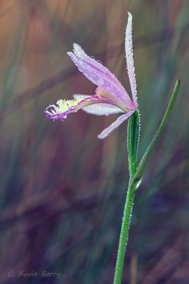Rose Pogonia (Orchid)