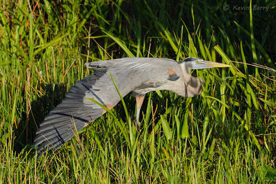 Great Blue Heron stretching, Everglades National Park, Florida, Ardea herodias