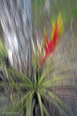 Stiff-leaved Wild Pine