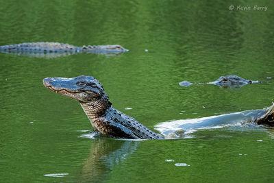 American Alligator, mississippiensis, Fakahatchee Strand Preserve State Park, Florida