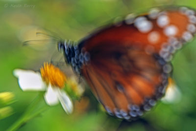 Soldier butterfly abstract, Big Cypress National Preserve, Florida, Danaus eresimus