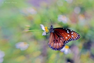 Soldier, Big Cypress National Preserve, Florida, Danaus eresimus