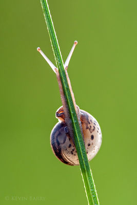 snail at sunrise, Big Cypress National Preserve, Florida