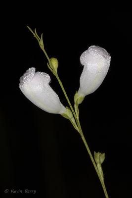 False Foxglove 2 (white form), Everglades National Park, Florida, Agalinis fasciculata