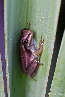 Juvenile Cuban tree frog, Yamato Scrub Natural Area, Boca Raton, Florida, Costeopilus septentrionalis