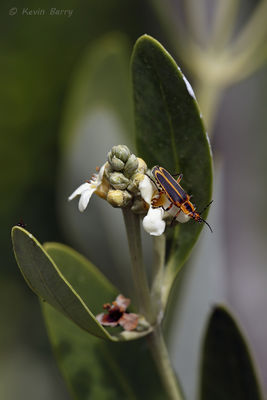 Soldier Beetle (Family Cantharidae) on Black Mangrove, Everglades National Park, Florida