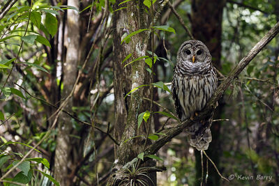 Barred Owl, Fakahatchee Strand Preserve State Park, Collier County, Florida