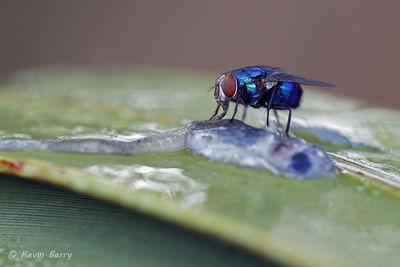 Blow fly, Yamato Scrub Natural Area, Boca Raton, Florida, Chrysomya megacephala