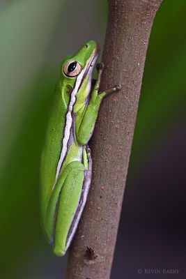 green tree frog, Picayune Strand State Forest, Collier County, Florida