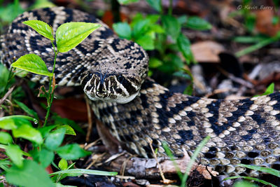Eastern Diamondback Rattlesnake, Everglades National Park, Florida