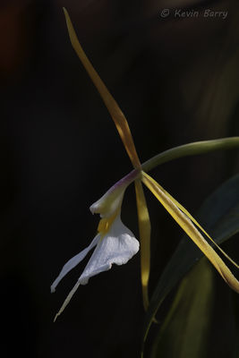 Night-scented Orchid, Fakahatchee Strand Preserve State Park, Collier County, Florida