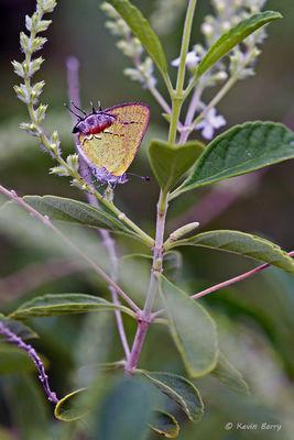 Amethyst Hairstreak butterfly