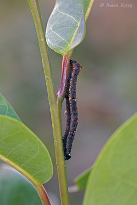 Citrus fruit-piercer moth caterpillar, Everglades National Park, Florida, Gonodonta nutrix
