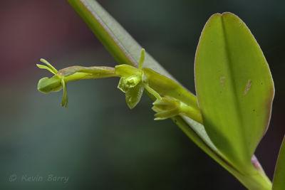 Rigid Epidendrum, Fakahatchee Strand Preserve State Park, Collier County, Florida, Epidendrum rigidum, state-listed endangered species
