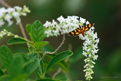 Red-waisted Florella Moth