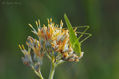 Katydid on Carolina Redroot, J.W. Corbett Wildlife Management Area, Palm Beach County, Florida