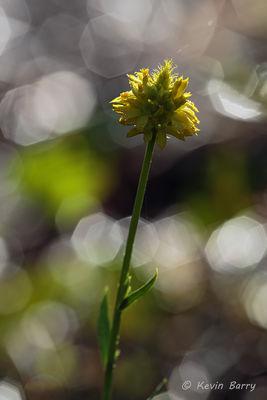 Yellow Milkwort, Cypress Creek Natural Area, Jupiter, Florida, Polygala rugelii