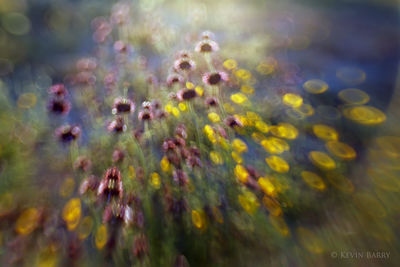 spring wildflower abstract, Joshua Tree National Park, California