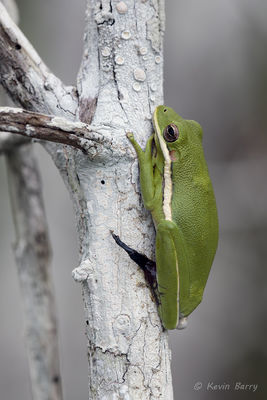 Green Tree Frog with withered foot, Everglades National Park, Florida, Hyla cinerea