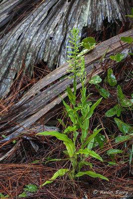 Toothpetal Orchid, Martin County, Florida, Habenaria floribunda