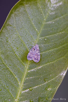 Cixiid planthopper, family Cixiidae, Everglades National Park, Florida, Bothriocera sp.