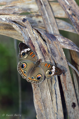 Common Buckeye, Everglades National Park, Florida, Junonia coenia
