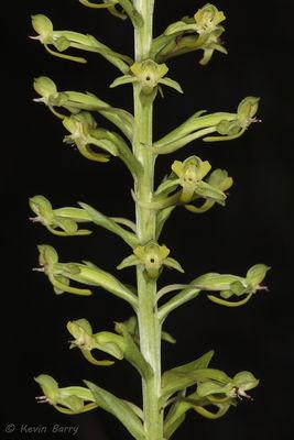 Toothpetal Orchid, Collier County, Florida, Habenaria floribunda