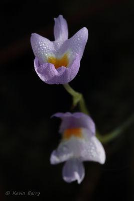 Purple Bladderwort, Everglades National Park, Florida, Utricularia purpurea