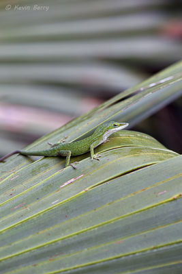 Carolina Anole on Cabbage Palm frond, Everglades National Park, Florida, Anolis, Sabal palmetto