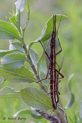 Southern Two-Striped Walkingsticks, Everglades National Park, Florida, Anisomorpha buprestoides
