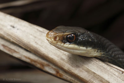 Black Racer, Fakahatchee Strand Preserve State Park, Florida