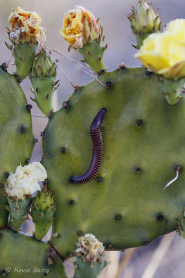 Millipede, Eastern Prickly Pear Cactus, Yamato Scrub Natural Area, Boca Raton, Florida
