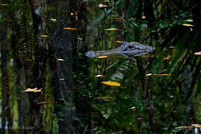 Alligator, Fakahatchee Strand Preserve State Park, Florida