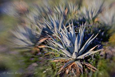 Desert Agave, Anza-Borrego Desert State Park, California