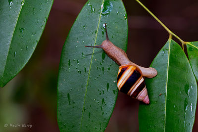 Florida tree snail, Dagny Johnson Key Largo Hammock Botanical State Park, Florida
