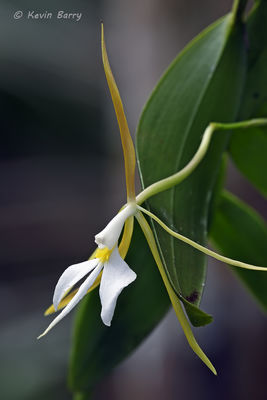 Night-scented Orchid 2