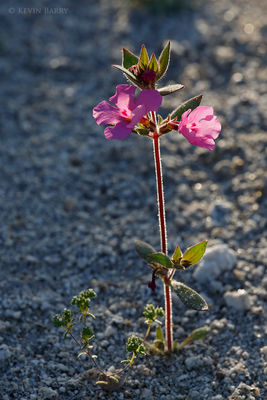 Bigelow's Monkeyflower, Anza-Borrego Desert State Park, California