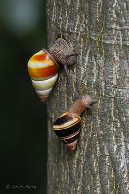 Florida tree snails, Dagny Johnson Key Largo Hammock Botanical State Park, Florida