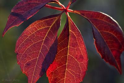 Virginia Creeper vine, Everglades National Park, Florida, Parthenocissus quinquefolia