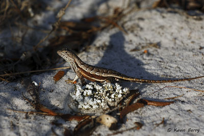 Florida Scrub Lizard, Polk County, Florida, Sceloporus woodi