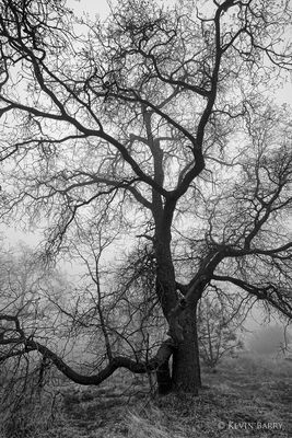 Oak in fog, Cleveland National Forest, California