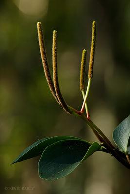 Florida Peperomia, obtusifolia, Fakahatchee Strand Preserve State Park, Florida