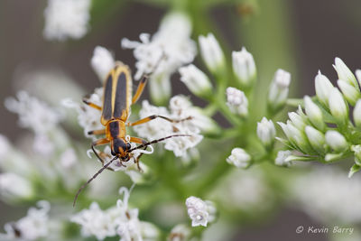 Soldier beetle 2, Everglades National Park, Florida, Family Cantharidae