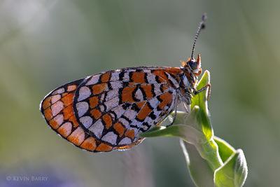 Tiny Checkerspot Butterfly