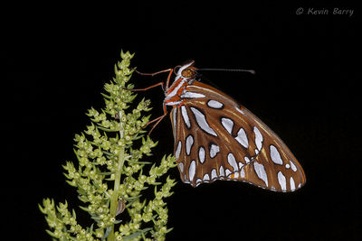 Gulf Fritillary (sleeping), Everglades National Park, Florida, Agraulis vanillae